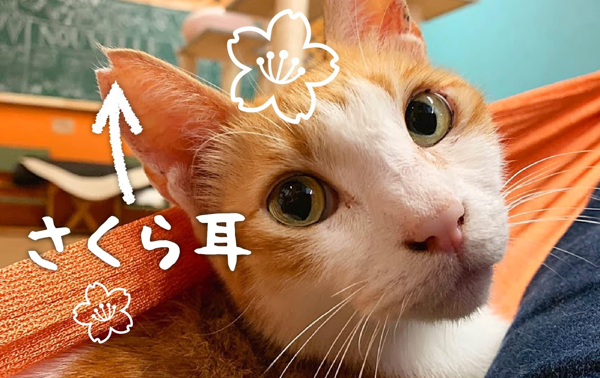さくら耳の猫